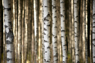 Trunks of Birch Trees Photographic Print by Pink Badger