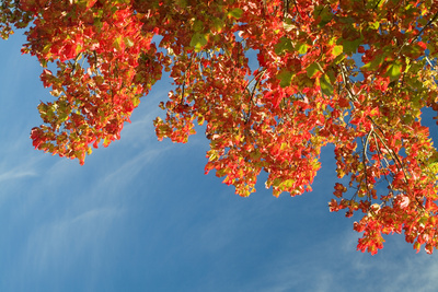 Red Leafed Maple Tree Leafs and Blue Sky Photographic Print by Jorge Moro