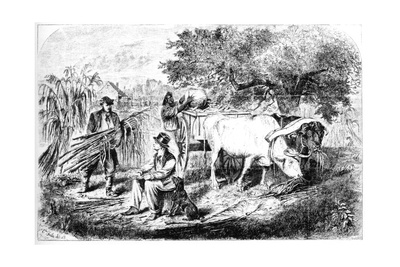 Oxen Hauling Corn, 19th Century Giclee Print by Edwin Forbes