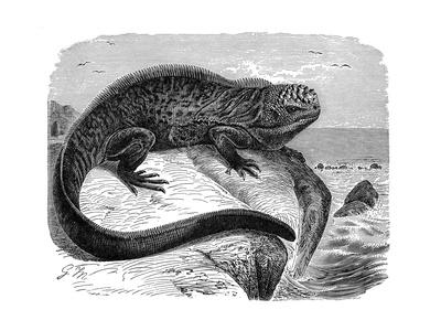 Iguana, the Great Herbivorous Sea Lizard of the Galapagos Islands Giclée-Druck