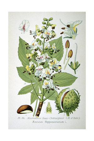 Common Horse Chestnut, 1893 Giclee Print