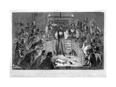 The Great 100 Rat Match, 19th Century Giclee Print