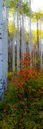Aspen in the Day I Photographic Print by Kathy Mansfield