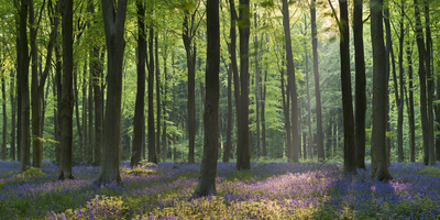 Bluebells and Beech Trees, West Woods, Marlborough, Wiltshire, England. Spring (May) Photographic Print by Adam Burton