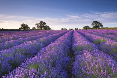 Lavender Field at Dawn, Somerset, England. Summer (July) Photographic Print by Adam Burton
