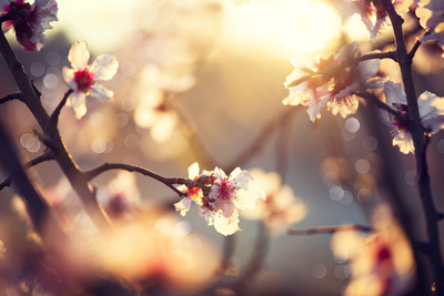 Beautiful Nature Scene with Blooming Tree and Sun Flare Fotografie-Druck von Subbotina Anna