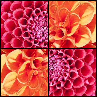 Square Collage of Orange and Pink Dahlias Photographic Print by  YellowPaul