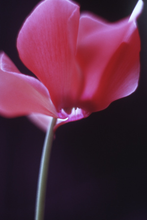 Red Cyclamen Abstract Photographic Print by Anna Miller