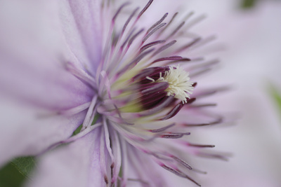 Clematis Flower Detail Photographic Print by Anna Miller