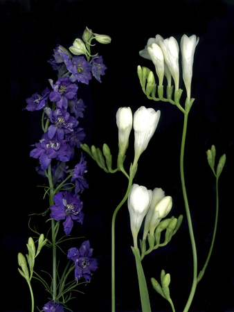 Freesia and Delphinium on Black Background Photographic Print by Anna Miller