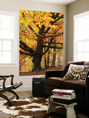 Beech Tree with Autumn Colours, Lake District, Cumbria, England. Autumn Wall Mural by Adam Burton