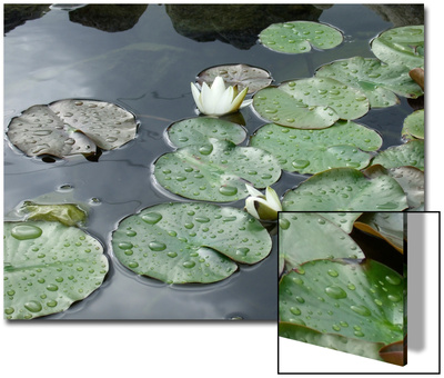 Pond with Waterlily Poster by Anna Miller