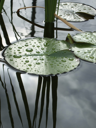 Water Lily Pond Metal Print by Anna Miller