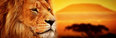 Lion Portrait on Savanna Landscape Background and Mount Kilimanjaro at Sunset. Panoramic Version Photographic Print by PHOTOCREO Michal Bednarek