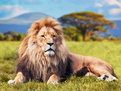 Big Lion Lying on Savannah Grass. Landscape with Characteristic Trees on the Plain and Hills in The Photographic Print by PHOTOCREO Michal Bednarek