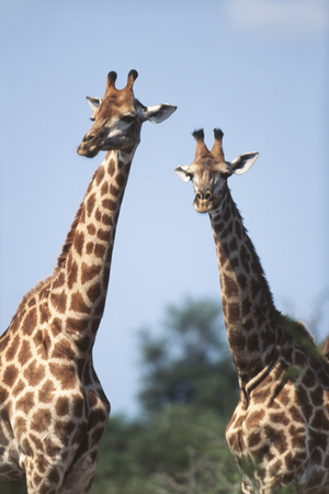 South Africa, Kruger National Park, Giraffes(Giraffa Camelopardalis Photographic Print by Paul Souders