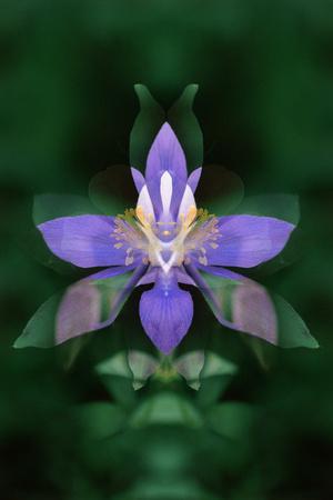 USA, Colorado, Boulder County. Colorado Columbine Flower Montage Photographic Print by Jaynes Gallery