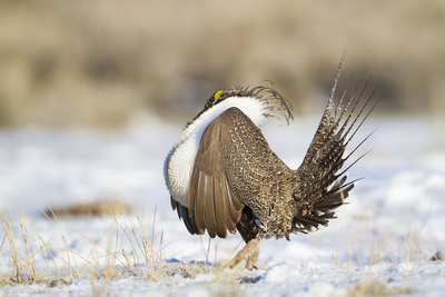 USA, Wyoming, Greater Sage Grouse Strutting on Lek in Snow Photographic Print by Elizabeth Boehm