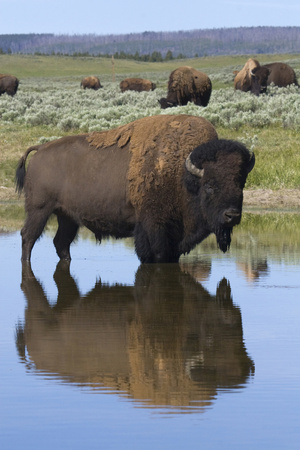 Bison Bull Reflecting Photographic Print by Ken Archer