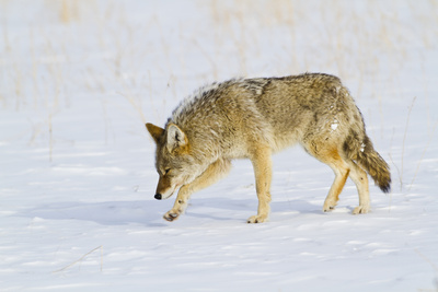 Wyoming, Yellowstone National Park, Coyote Hunting on Snowpack Photographic Print by Elizabeth Boehm