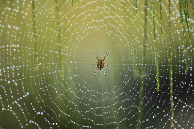 Spider on Wet Web Photographic Print by Peter Skinner