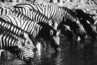 Namibia, Etosha National Park, Burchells Zebra Drinking at Waterhole Photographic Print by Stuart Westmorland