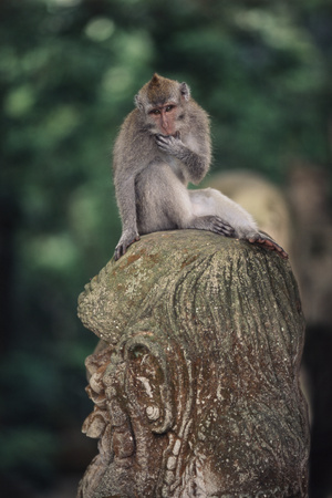 Indonesia, Bali, Ubud, Long Tailed Macaque in Monkey Forest Sanctuary Photographic Print by Paul Souders