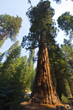 California, Yosemite National Park, Mariposa Grove of Giant Sequoia, the Colombia Photographic Print by Bernard Friel