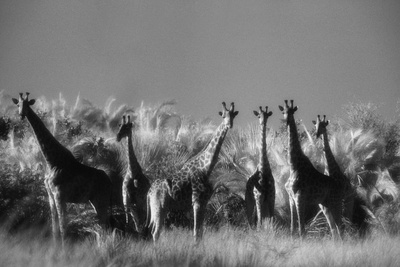 Reticulated Giraffe Standing in Forest Photographic Print by Stuart Westmorland