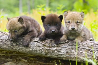 Portrait of Young Cute Wolf Pups on Log Minnesota Spring Captive Lámina fotográfica por  Design Pics Inc