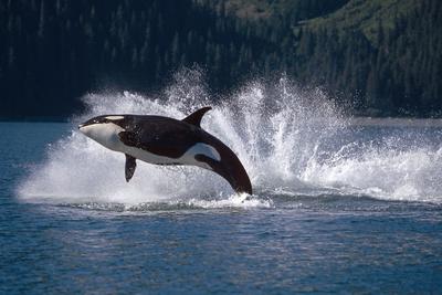 Double Breaching Orcas Bainbridge Passage Prince William Sound Alaska Summer Southcentral Fotografisk tryk af  Design Pics Inc