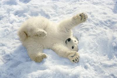 Polar Bear Cub Playing in Snow Alaska Zoo Lámina fotográfica por  Design Pics Inc