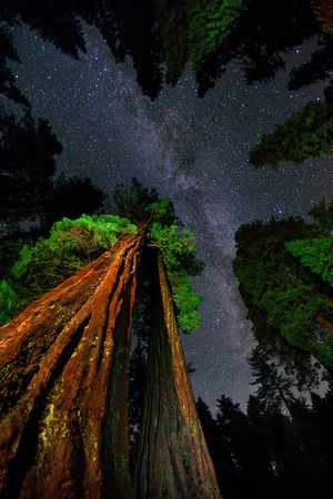 The Milky Way Above Towering Giant Sequoia Trees, Some of the Largest and Tallest Trees on Earth Photographic Print by Babak Tafreshi