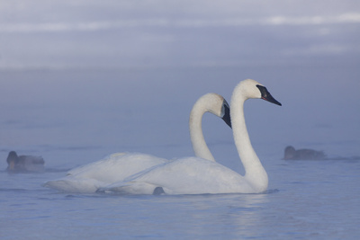 Pair of Trumpeter Swans (Cygnus Buccinator) Swimming in Ice Fog Photographic Print by Lynn M. Stone