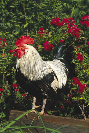Rooster Perched on Stump by Rose Bush, (Breed- Creme Brabanter) Calamus, Iowa, USA Photographic Print by Lynn M. Stone