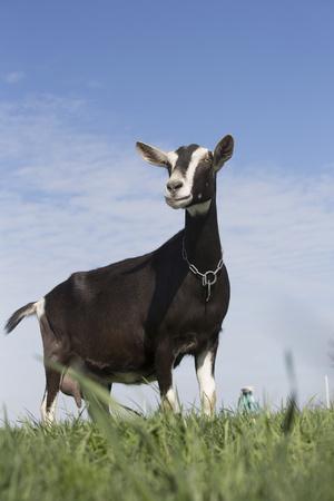 Alpine Goat (A Dairy Breed) Doe in Pasture, Poplar Grove, Illinois, USA Fotoprint av Lynn M. Stone
