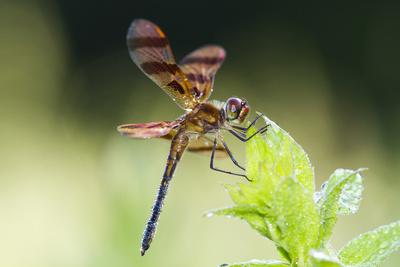 Halloween Pennant Dragonfly (Celithemis Eponina) Photographic Print by Lynn M. Stone