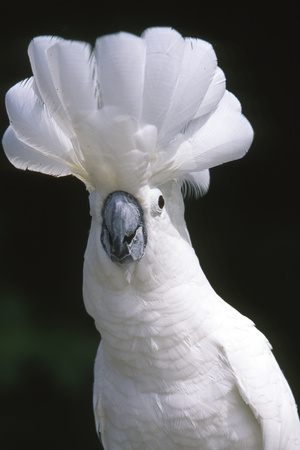 Umbrella Cockatoo (Cadatua Alba) Photographic Print by Lynn M. Stone