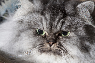 Portrait of Persian Cat Photographic Print by Lynn M. Stone