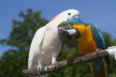 Salmon-Crested Cockatoo (L) and Blue and Gold Macaw (R), Captive, Mutual Grooming Photographic Print by Lynn M. Stone