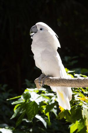 Umbrella Cockatoo (Cacatua Alba) Photographic Print by Lynn M. Stone