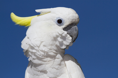 Sulphur-Crested Cockatoo (Cacatua Galerita), Captive Photographic Print by Lynn M. Stone