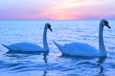 Swans Photographic Print by  lindama