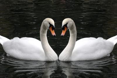 Swan Symbol of Love Photographic Print by  mamaluk