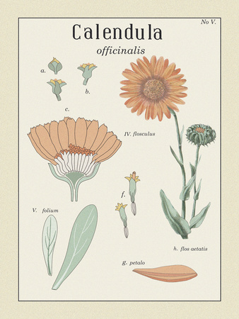 Calendula Giclee Print by Maria Mendez