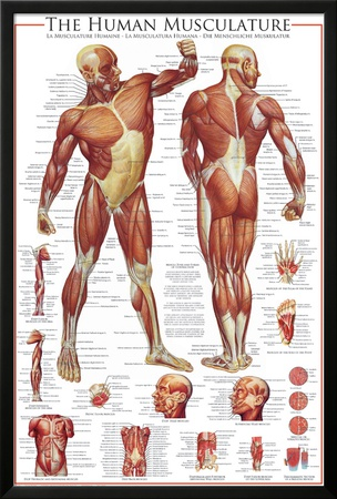 Muscular System Posters