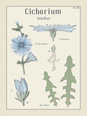 Cichorium Giclee Print by Maria Mendez