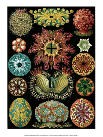Art Forms of Nature, Ascidiacea (Sea Squirts) Posters by Ernst Haeckel