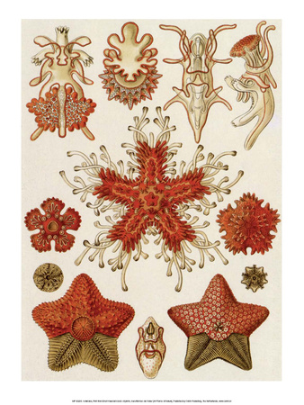 Art Forms of Nature, Asteridea Posters by Ernst Haeckel