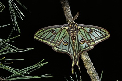 Graellsia Isabellae (Spanish Moon Moth) - Male Photographic Print by Paul Starosta